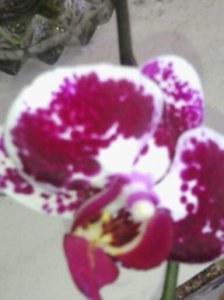 ORCHID IN BLOOM FOR SPRING